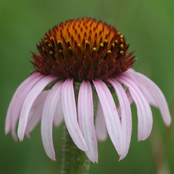 Flowering head of Echinacea angustifolia