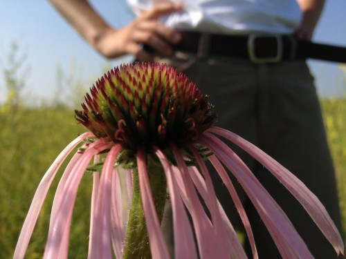 Echinacea Pallida on Hegg Lake
