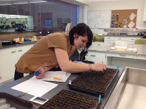 Jill transferring Echinacea seeds to plug trays
