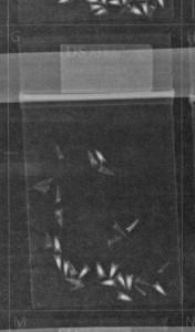 X-ray image of Echinacea achenes