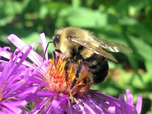 Bombus, photographed by Gretel Kiefer