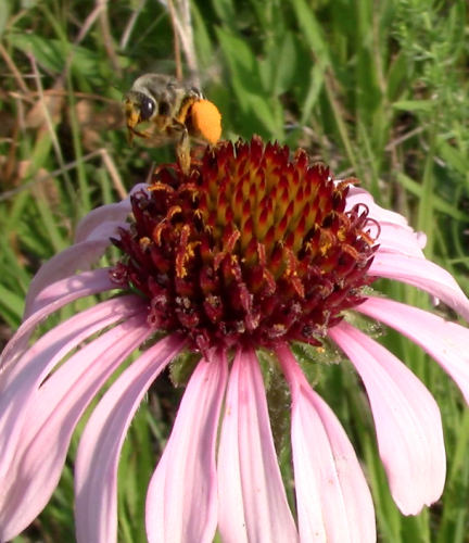 Melissodes taking flight from Echinacea after collecting pollen.