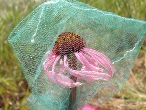 Echinacea head with pollinator exclusion bag