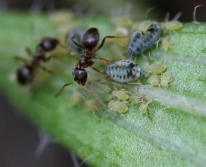 Ants tending Aphis echinaceae