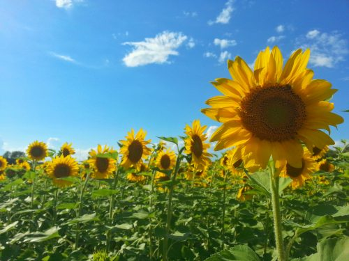 A local sunflower patch