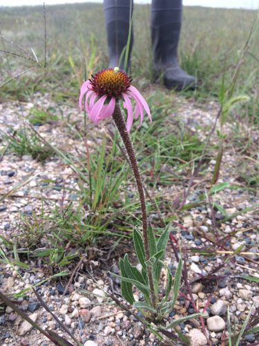 Flowering (second day!) Echinacea found near P2. Outrageous!