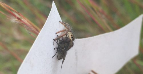 Spider on a flag in p1 munching on a fly.