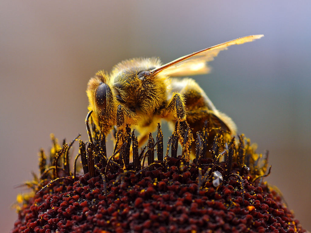 Bees_Collecting_Pollen_2004-08-14.jpg