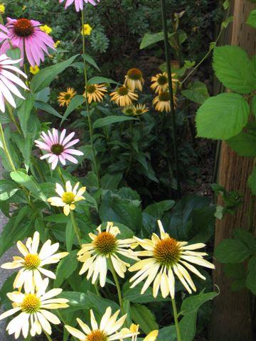Echinacea garden 002.jpg