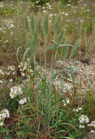 Elymus_virginicus_plant.jpg