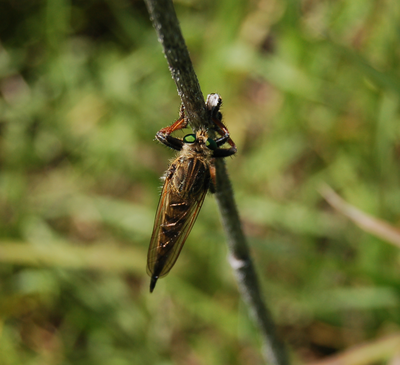 robberfly.png